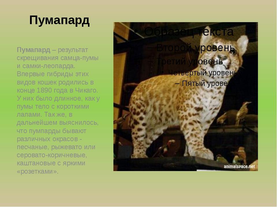 Пумапард Пумапард – результат скрещивания самца-пумы и самки-леопарда. Впервы...
