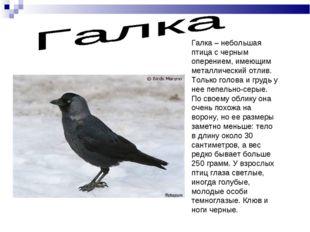 Галка – небольшая птица с черным оперением, имеющим металлический отлив. Толь