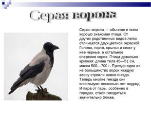 Серая ворона — обычная и всем хорошо знакомая птица. От других родственных ви