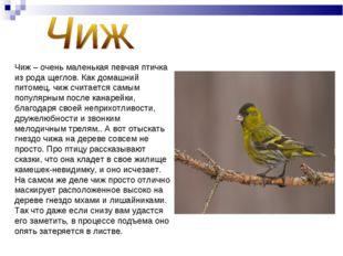 Чиж – очень маленькая певчая птичка из рода щеглов. Как домашний питомец, чиж
