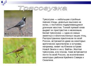 Трясогузки — небольшие стройные певчие птицы, довольно высокие на ногах, с по