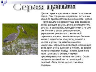 Цапля серая – красивая и очень осторожная птица. Они грациозны и красивы, ест