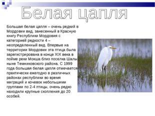 Большая белая цапля – очень редкий в Мордовии вид, занесенный в Красную книгу