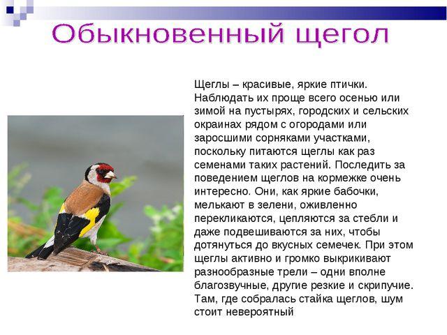 Щеглы – красивые, яркие птички. Наблюдать их проще всего осенью или зимой на...