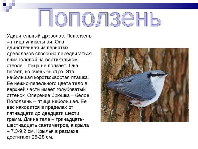 Удивительный древолаз. Поползень – птица уникальная. Она единственная из перн...