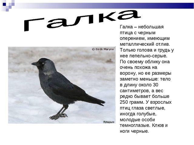 Галка – небольшая птица с черным оперением, имеющим металлический отлив. Толь...