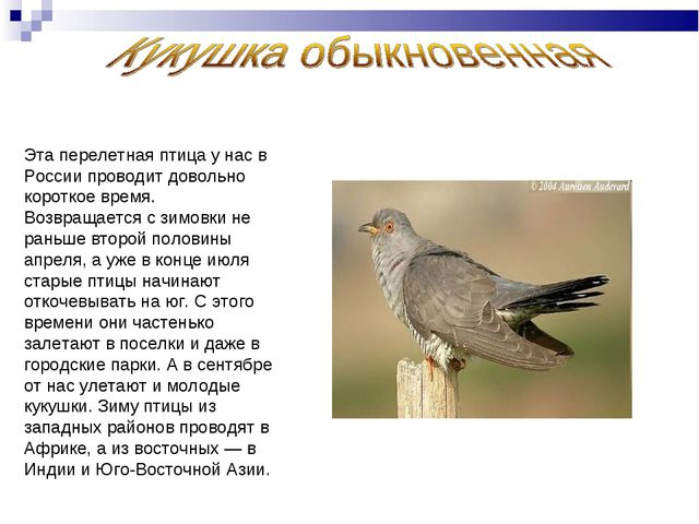Эта перелетная птица у нас в России проводит довольно короткое время. Возвращ...