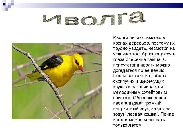 Иволги летают высоко в кронах деревьев, поэтому их трудно увидеть, несмотря н...