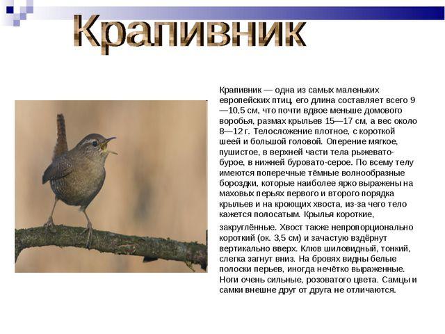 Крапивник — одна из самых маленьких европейских птиц, его длина составляет вс...