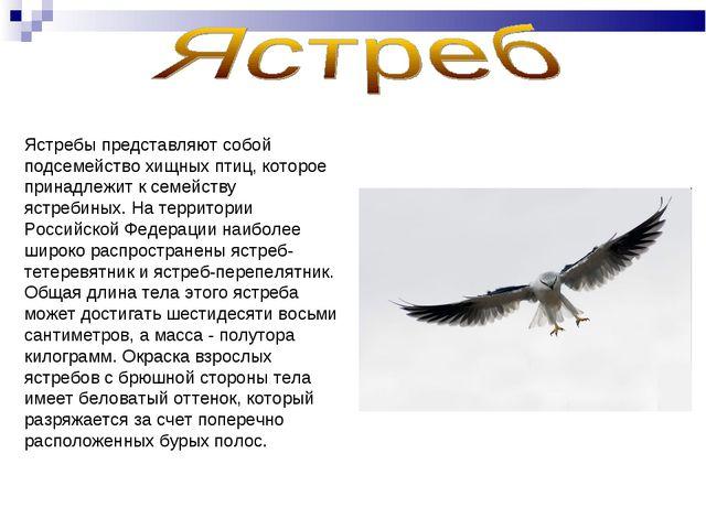 Ястребы представляют собой подсемейство хищных птиц, которое принадлежит к се...