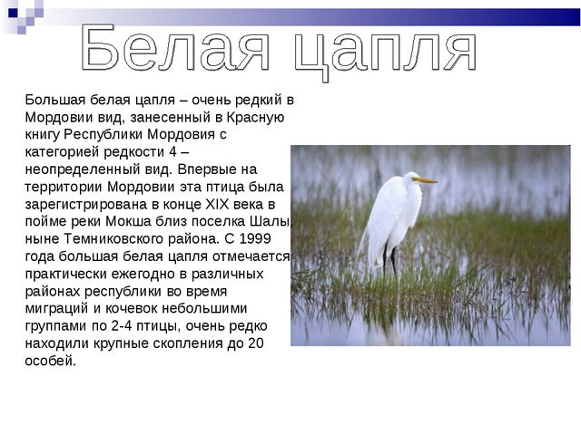 Большая белая цапля – очень редкий в Мордовии вид, занесенный в Красную книгу...