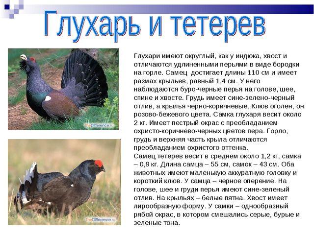 Глухари имеют округлый, как у индюка, хвост и отличаются удлиненными перьями...