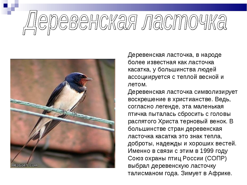 Деревенская ласточка, в народе более известная как ласточка касатка, у больши...