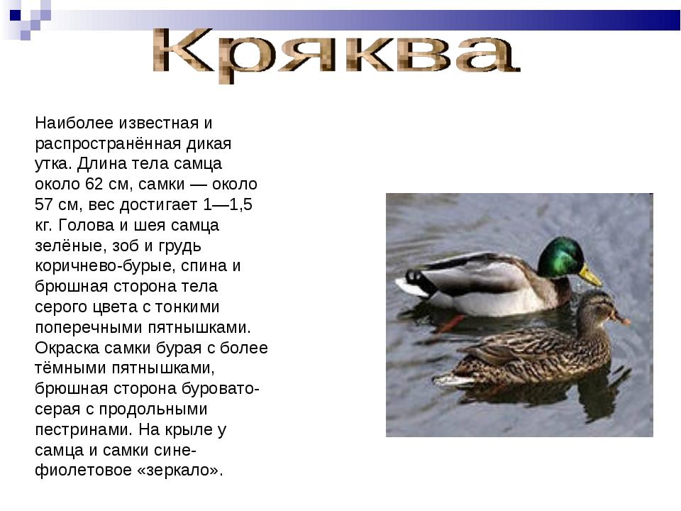 Наиболее известная и распространённая дикая утка. Длина тела самца около 62 с...
