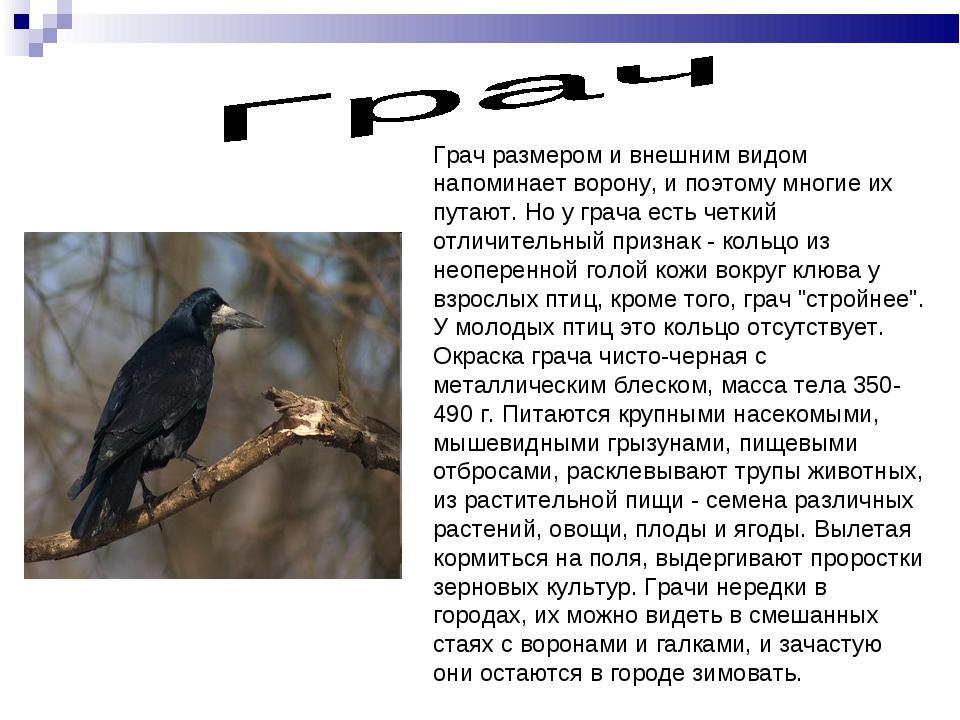 Грач размером и внешним видом напоминает ворону, и поэтому многие их путают....