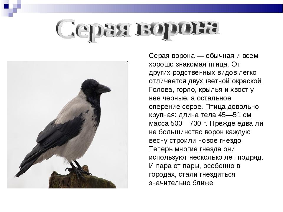 Серая ворона — обычная и всем хорошо знакомая птица. От других родственных ви...