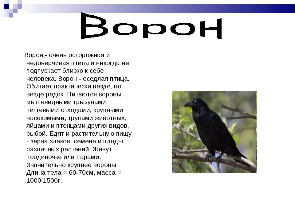 Ворон - очень осторожная и недоверчивая птица и никогда не подпускает близко...