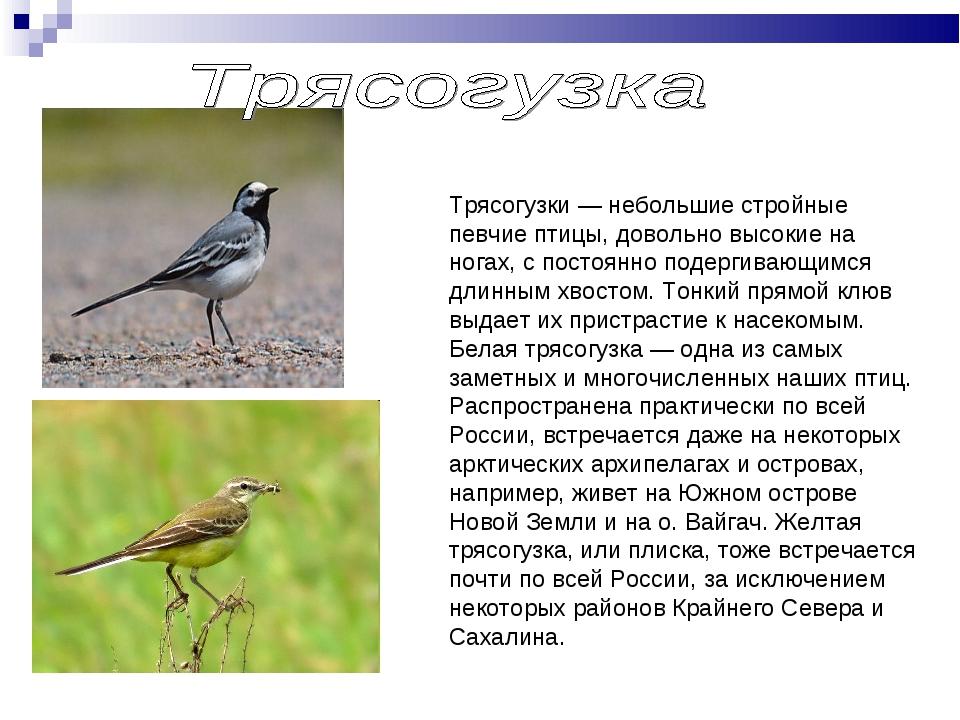 Трясогузки — небольшие стройные певчие птицы, довольно высокие на ногах, с по...