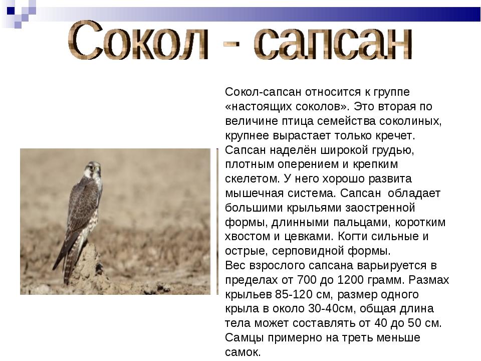 Сокол-сапсан относится к группе «настоящих соколов». Это вторая по величине п...