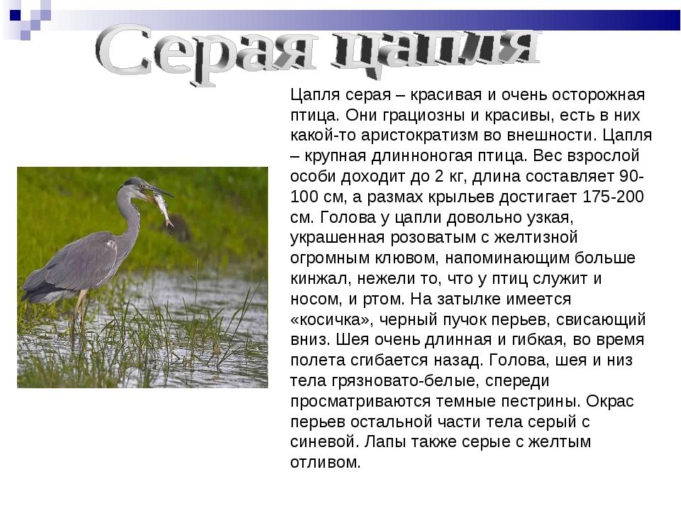 Цапля серая – красивая и очень осторожная птица. Они грациозны и красивы, ест...