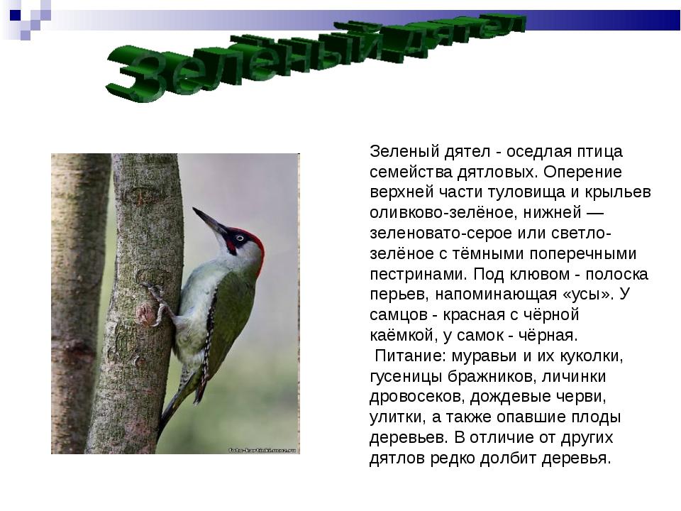 Зеленый дятел - оседлая птица семейства дятловых. Оперение верхней части туло...