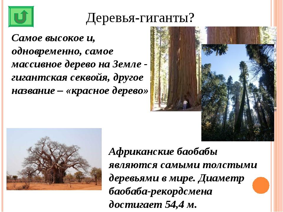 Деревья-гиганты? Самое высокое и, одновременно, самое массивное дерево на Зем...