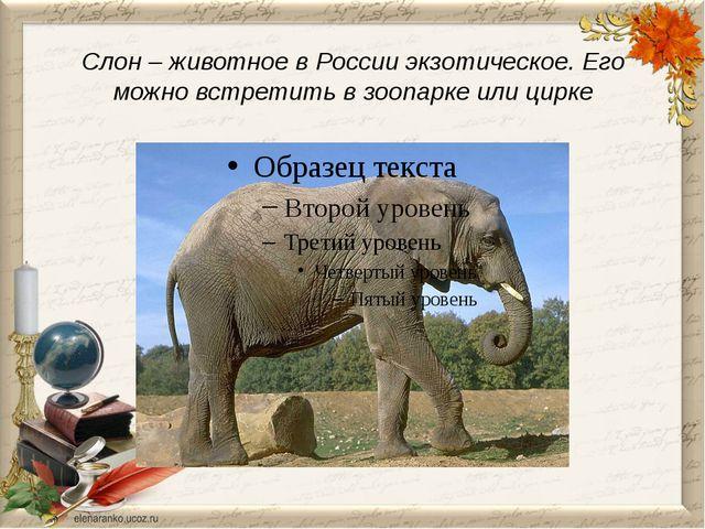 Слон – животное в России экзотическое. Его можно встретить в зоопарке или ци...
