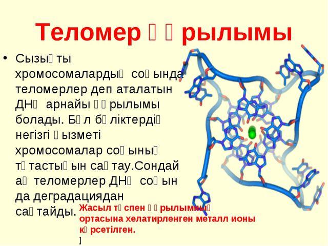 Теломер құрылымы Сызықты хромосомалардың соңында теломерлер деп аталатын ДНҚ...