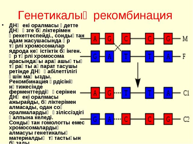 Генетикалық рекомбинация ДНҚ екі оралмасы әдетте ДНҚ өзге бөліктерімен әрекет...