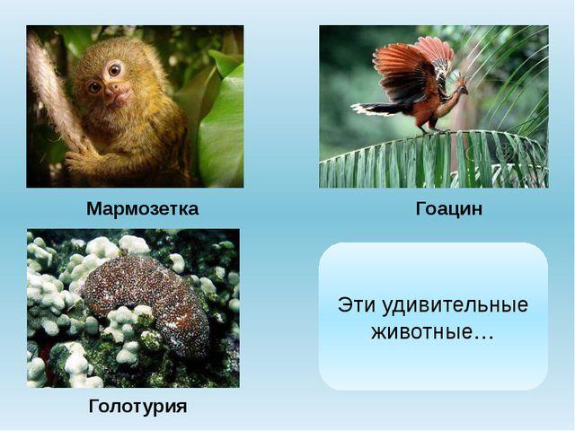 Мармозетка Гоацин Голотурия Эти удивительные животные…