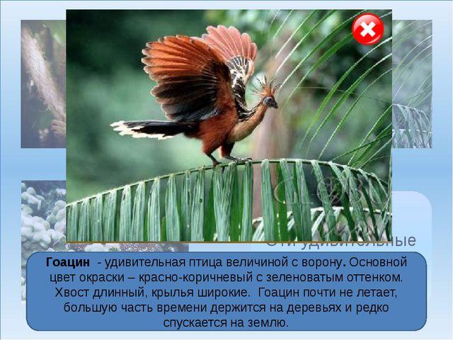 Мармозетка Гоацин Голотурия Эти удивительные животные… Необычное животное гол...
