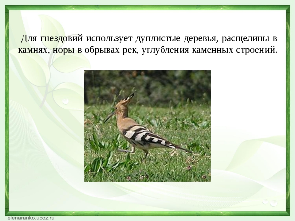 Какая птица на земле самая большая? 2 балла. Страус