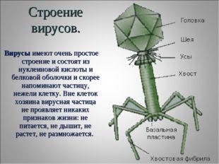 Строение вирусов. Вирусыимеют очень простое строение и состоят из нуклеиново