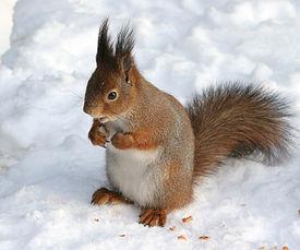 https://upload.wikimedia.org/wikipedia/commons/thumb/4/4f/Sciurus_vulgaris_in_snow_-_Helsinki,_Finland.jpg/275px-Sciurus_vulgaris_in_snow_-_Helsinki,_Finland.jpg