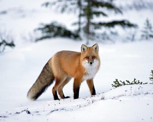 http://animalbox.ru/wp-content/uploads/2012/10/ryzhaya_lisa.jpg