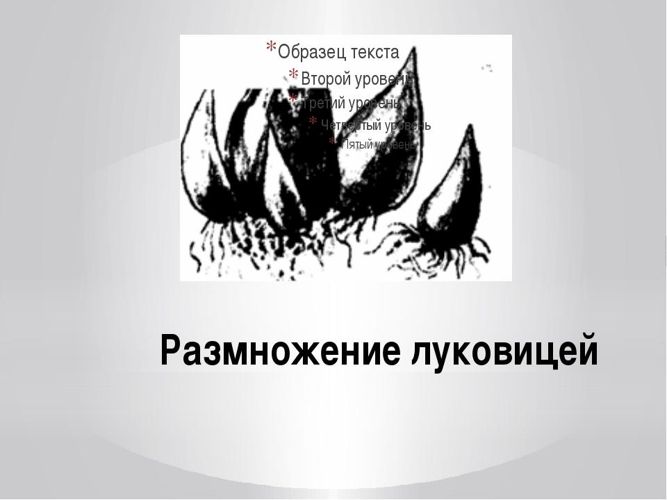 Размножение луковицей