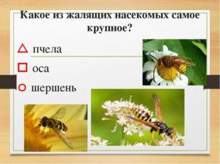 Какое из жалящих насекомых самое крупное?  пчела  оса  шершень