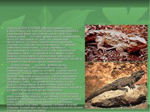Отряд КЛЮВОГОЛОВЫЕ (Rhynchocephalia) Отряд клювоголовых, или хоботноголовых,