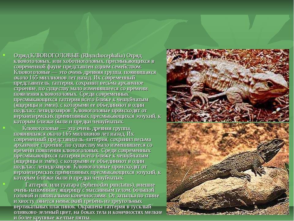 Отряд КЛЮВОГОЛОВЫЕ (Rhynchocephalia) Отряд клювоголовых, или хоботноголовых,...