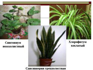 Сансивиерия трехполостная Сингониум ножколистный Хлорофитум хохлатый