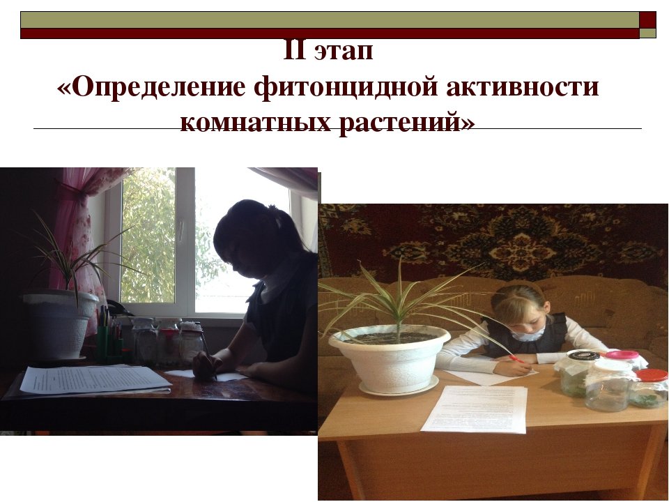 II этап «Определение фитонцидной активности комнатных растений»