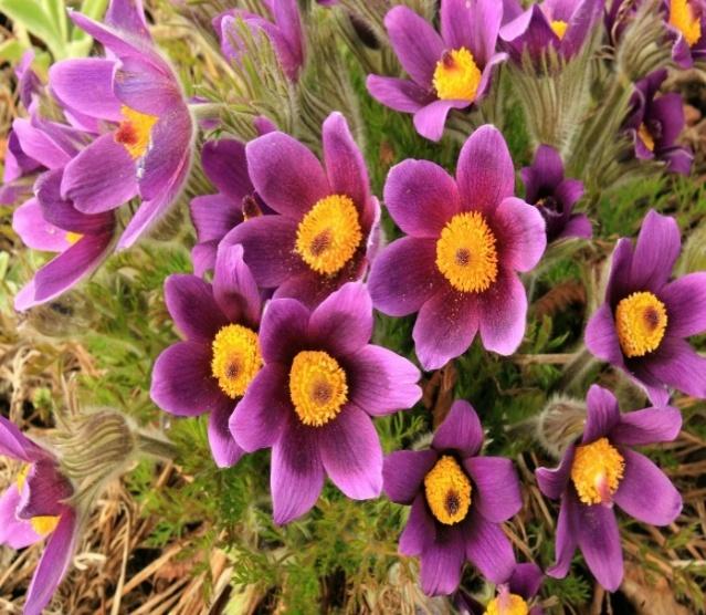 Фото многолетних цветов рябчик