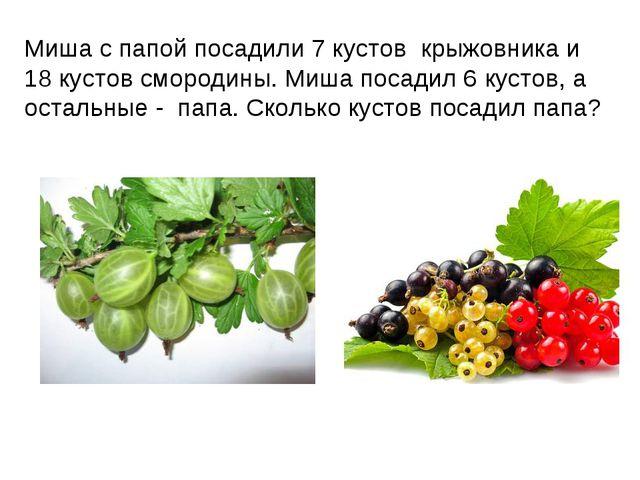 Миша с папой посадили 7 кустов крыжовника и 18 кустов смородины. Миша посадил...