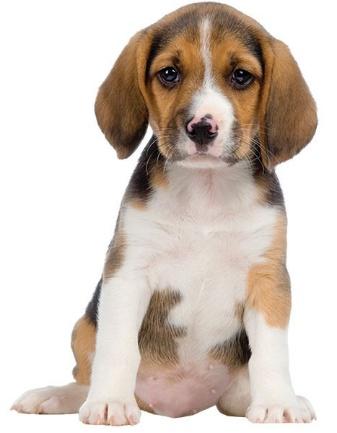 http://wallclingbling.com/image/cache/data/beagle-wall-decal-800x600.jpg