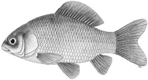 http://fl.biology.usgs.gov/Carp_ID/assets/images/carp_id_fig_15.jpg