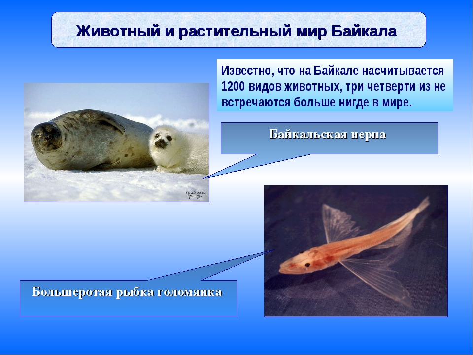 Животный и растительный мир Байкала Известно, что на Байкале насчитывается 12...