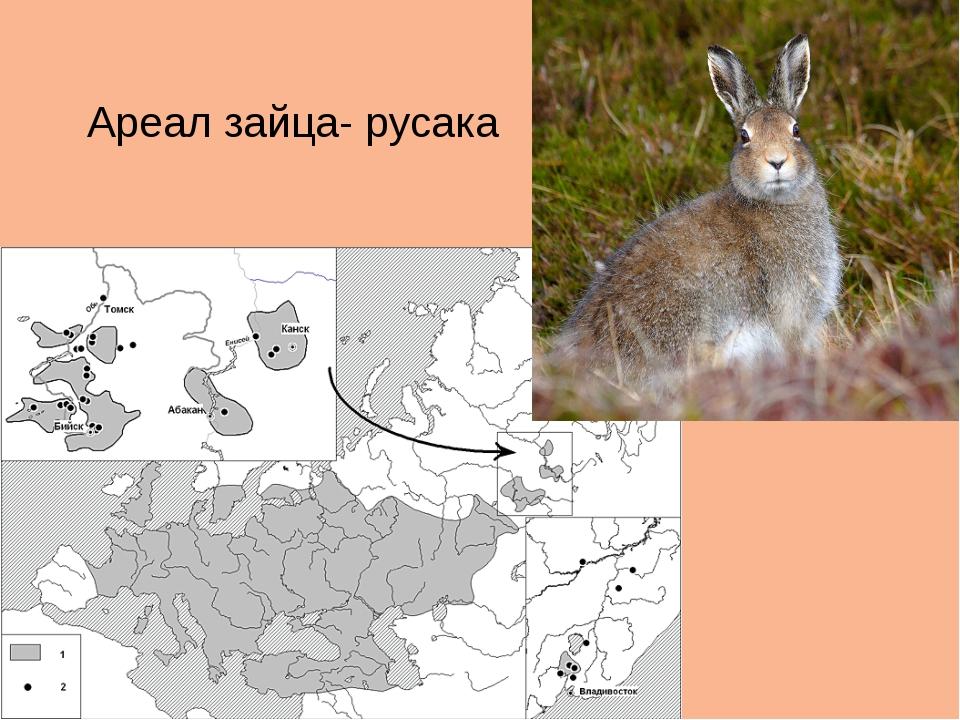 Ареал зайца- русака