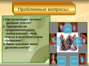 1.Как происходит процесс деления клеток? 2. Одинакова ли продолжительность ж