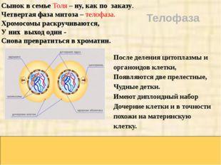 Сынок в семье Толя – ну, как по заказу. Четвертая фаза митоза – телофаза. Хр