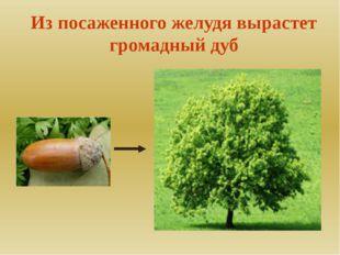 Из посаженного желудя вырастет громадный дуб